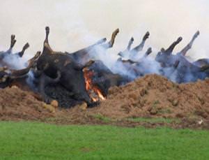 burning-cows
